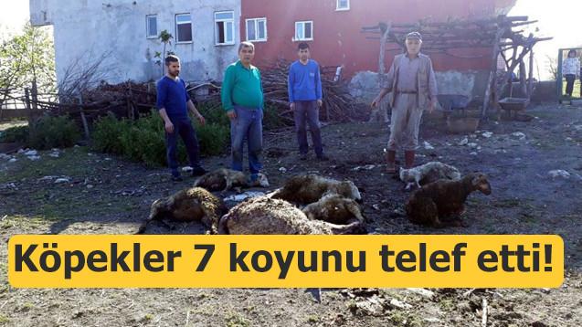 Aç kalan köpekler 7 koyunu telef etti