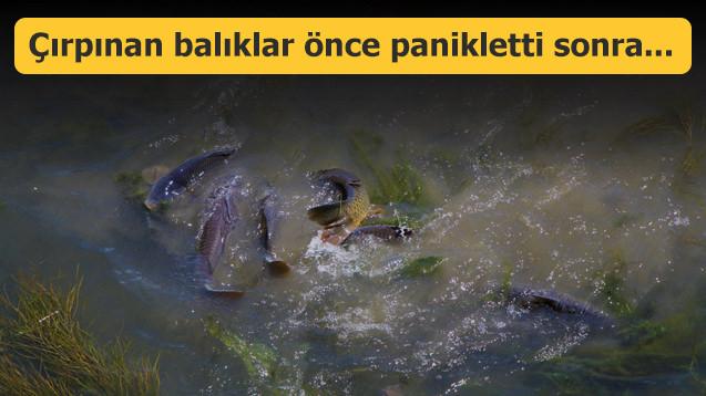 Çırpınan balıklar önce panikletti sonra...