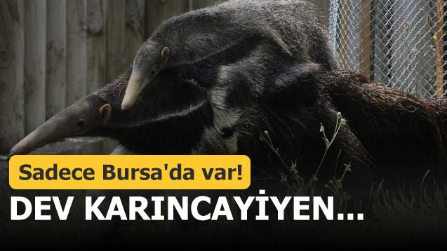 Sadece Bursa'da var! Dev karıncayiyen...