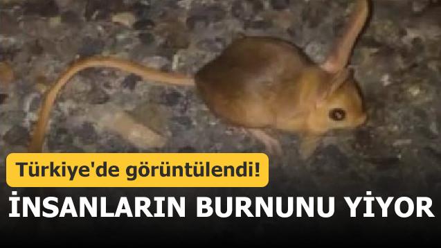 Türkiye'de görüntülendi! İnsanların burnunu yiyor
