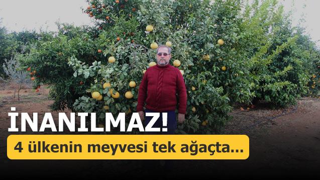 İnanılmaz! 4 ülkenin meyvesi tek ağaçta...