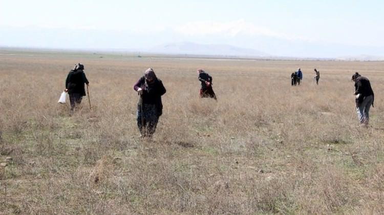 Kilosu 80 TL, Araplar 500 TL veriyor! Bastonu alan araziye koşuyor