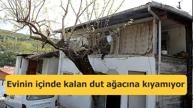 Evinin içinde kalan dut ağacına kıyamıyor