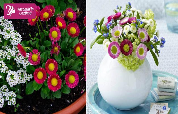 Yaz papatyası: Bellis Çiçeği