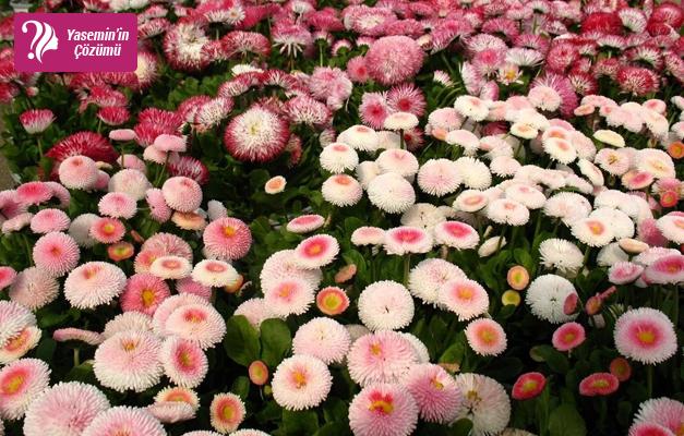 Ramazan tatlısı çiçeği: Şeker Tabağı