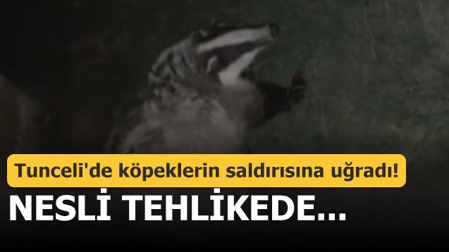 Tunceli'de köpeklerin saldırısına uğradı! Nesli tehlikede...