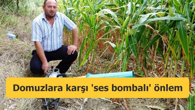 Domuzlara karşı 'ses bombalı' önlem