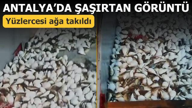 Antalya'da şaşırtan görüntü! Yüzlercesi ağa takıldı
