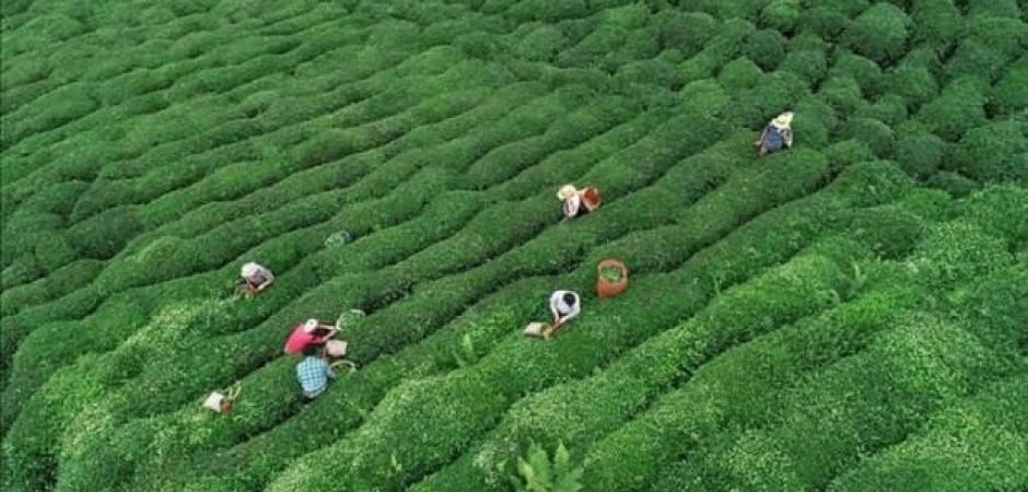 ÇAYKUR bu yıl 750 bin ton yaş çay aldı