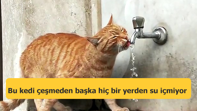 Bu kedi çeşmeden başka hiç bir yerden su içmiyor